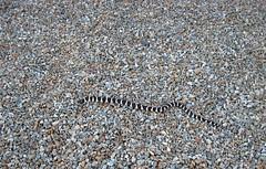 Snake (azmichelle) Tags: pattern snake dailyshoot 2010365 ds270