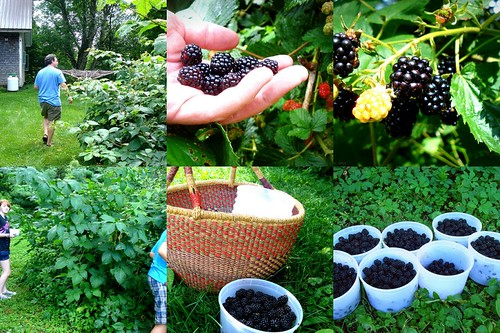 homestead blackberries