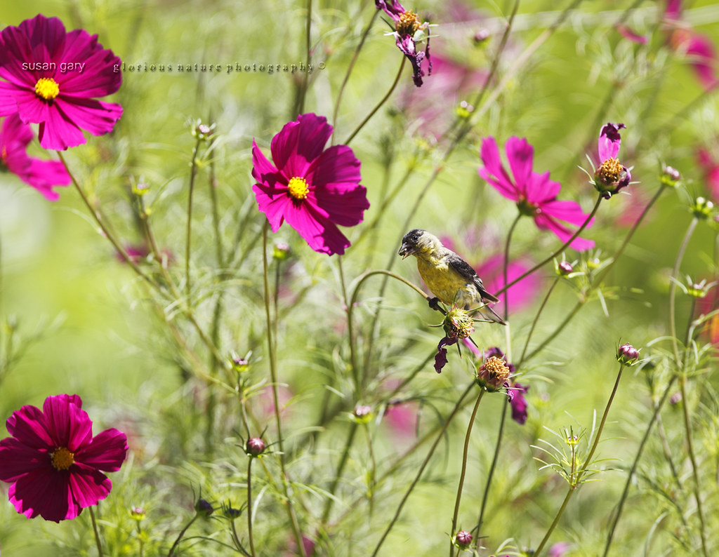 Lesser Goldfinch in Cosmos Flowers