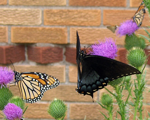 Eastern Tiger Swallowtail and Monarch Butterfly