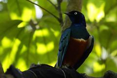 Lamprotornis superbus (ddsnet) Tags: bird birds zoo sony hsinchu taiwan    900    peipu greenworld bird  zoo zoobird 900