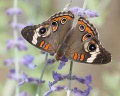 Common Buckeye IMG_5024 (mbowen1) Tags: butterfly buckeye wildernesstrails physis naturessoul goldstaraward naturespotofgold andromeda50