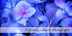 hydrangea (o-boy) Tags: pink blue summer white plant flower color macro nature floral beautiful beauty gardens closeup garden botanical outdoors leaf petals spring bush flora colorful pattern close purple natural bright blossom gardening head vibrant background blossoms violet petal foliage lilac bunch bloom backgrounds florist hydrangea blooms botany blooming hortensia descriptive macrophylla