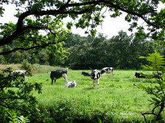 Idyllic (nelleke2 - Trying to catch up) Tags: cows frisian
