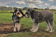 Miller, not sure if he wants to share. (DJ MacTrucker) Tags: blue dog schnauzer mini miller bales tucker tik