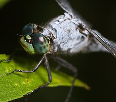 2nd Dragon shoot (Hooker771) Tags: blue portrait macro green insect fly eyes dragon dragonfly flight dew refraction flies tokina100mmf28atxprod