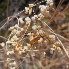 dry (the incredible how (intermitten.t)) Tags: dry tangle menorca baleares brittle balears bythesea 8820 winterflora samesquida 24092009