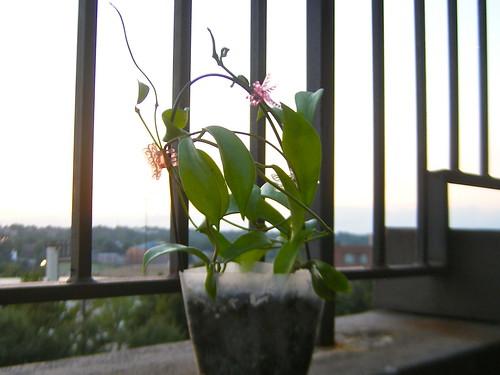 Hoya oreogena (IML 1513)