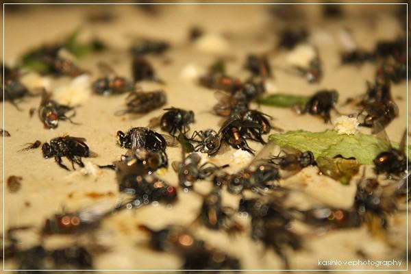 lalat yg mati