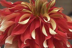 Dahlia 'Nick' (Eric Hunt.) Tags: sanfrancisco california dahlia red flower yellow curly curled twisted asteraceae twisty dahlianick