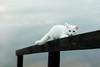 (.donna.dark) Tags: bridge white cat ne taip ne6 ne4 ne5 ne2 ne3 ne7 taip2 taip7 taip10 taip3 taip4 taip6 taip8 taip9 fotofiltroauksas