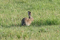 Rabbit (ivlys) Tags: summer vacation nature water northsea nordsee ivlys inseljuist juistscan islandjuist