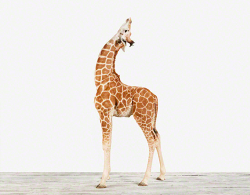 animal printshop_giraffe