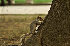 #14 Little squirrel =D (Abdulla Attamimi Photos [@AbdullaAmm]) Tags: photography photo nikon squirrel photos photographic 2008 2010  abdulla abdullah amm   d90  tamimi   attamimi   desamm abdullahamm abdullaamm altamimialtamimi    abdullaammnet abdullaammcom