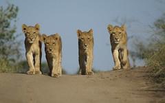 Eyrefield pride cubs (dean.wraith68) Tags: africa fauna canon southafrica wildlife safari big5 naturesfinest malamala supershot bej specanimal animalkingdomelite gamereserves