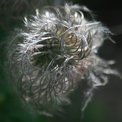 Bad Hair Day! (gradys'mom( life taking over !flickr time reduced)) Tags: flowers hair clematis seed