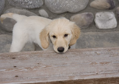 Ranger Resting Head On Bench (Kristin_Joy) Tags: dog baby white cute love puppy golden furry montana ranger young adorable canine retriever perro