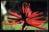 Flor 03 (Ricardo Kirmayr) Tags: parque flower macro nature closeup analógica pentax k1000 sãopaulo natureza flor jardimbotanico filme analogica overtheexcellence