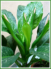 Dieffenbachia bowmannii Carriere (Dumb Cane, Spotted Dumbcane, Leopard Lily ) with 5 flowers, in our garden