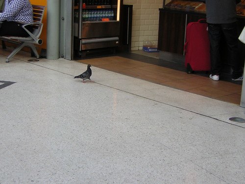 Pigeon going for a coffee