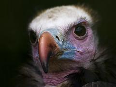 White-headed Vulture (Chalto!) Tags: bird hampshire raptor vulture ringwood 15challengeswinner