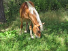 New Pasture (Roofer 1) Tags: horse belgian workhorse