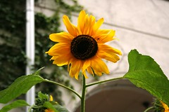 SunFlower (Hermione2010) Tags: sun sol energy sunflower energia girassol sunsetflower