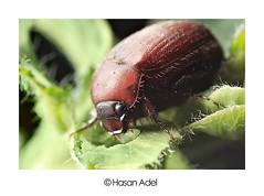 Macro Bug Feeding I (HASAN_ADEL) Tags: brown macro canon bug micro saudi arabia ladybug 450 ksa حشرة السعودية العربية المملكة 450d ماكرو كانون ميكرو تكبير