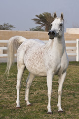 Pure Arabian (MT-Photo.net) Tags: horse beauty canon al mare state arab egyptian kuwait arabian straight mohammad stud bait stallion q8 shalimar hejazi ansata taqi ashkanani sherrara