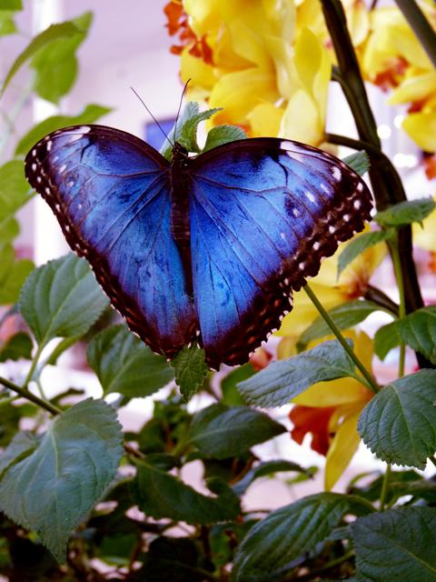 l'orchidea e la farfalla {morpho blu}