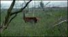 Red Deer (evoergo) Tags: red deer flevoland lelystad almere hert flevo oostvaardersplassen heckrunderen