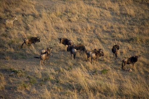 Western White-bearded Wildebeests from the balloon - Maasai Mara, Kenya