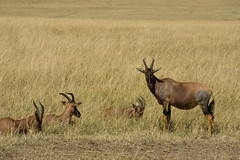 genus: Damaliscus. Topis - Maasai Mara, Kenya
