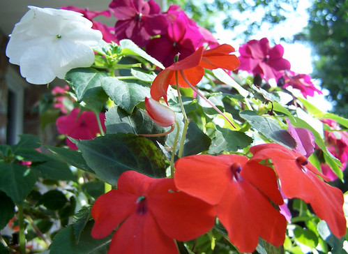 Orange, White and Purple Impatiens flowers