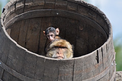 Barbary Macaque & Young (Truus & Zoo) Tags: baby netherlands animals zoo young magot vulnerable dierentuin nuenen barbarymacaque berberaap macacasylvanus dierenrijk
