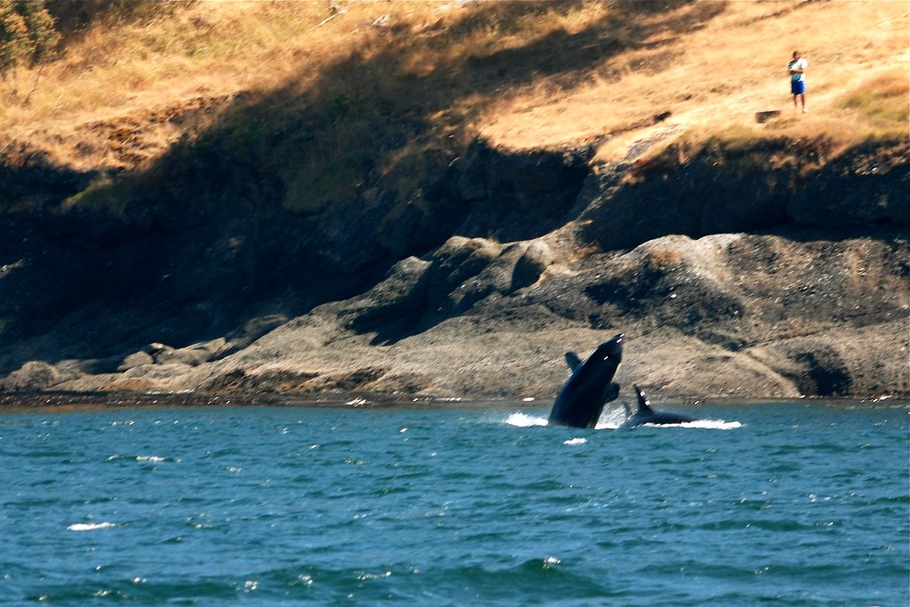 Whales breaching at Stuart Point