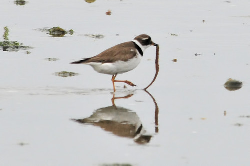 plover gets the worm 5