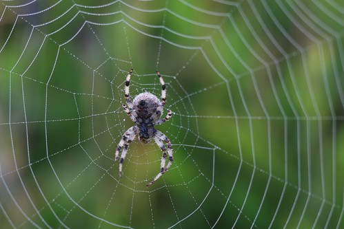 Garden Spider and its web