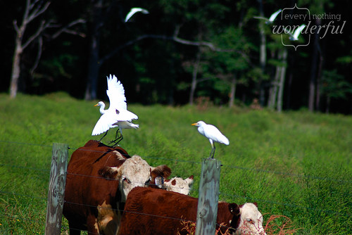 Cows and cow birds