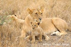 ADS_Kenya_0000018928 (dickysingh) Tags: africa wild nature kenya safari masaimara wwwsunworldsafariin wwwbaghsafaricom wwwranthambhorecom