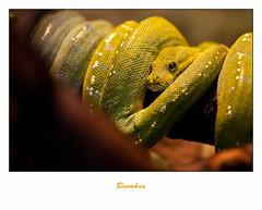 IMG_5970 (Arie van Tilborg) Tags: zoo blijdorp boa reptielen rotterdamzoo arievantilborg boomboa