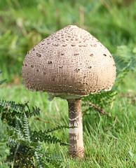 Parasol Mushroom ? (Dan Belton ( No Badger Cull )) Tags: park mushroom leicestershire parasol maybe bradgate