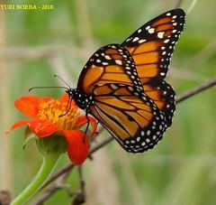 Viajante Colorida. (Yuri Borba) Tags: rj borboleta sonycybershot nationalgeographic guaratiba monarca flickraward yuriborba