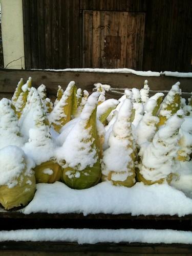 Repollos con punta nevados