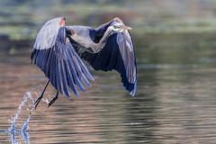 Take-off (Chatham Sound) Tags: fauna greatblueheron ardeaherodias waterbirds canada westcoast britishcolumbia victoria pacificnorthwest nikond5 tamron150600mmf563divcusdanimal