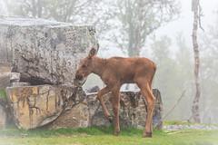 Moose calf (CecilieSonstebyPhotography) Tags: rock legs calf baby longlegs moose canon animal norway trees markiii ttiny norwegian canon5dmarkiii ef100400mmf4556lisiiusm bokeh langedrag specanimal specanimalphotooftheday