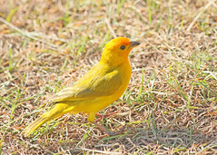 Saffron Finch (hennessy.barb) Tags: sicalisflaveola saffronfinch finch yellow bird nature wildlife colorful maui hawaii