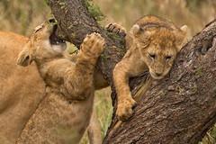 Lions of Maasai Kopjes 417 (Grete Howard) Tags: bestsafarioperator bestsafaricompany africa africansafari africanbush africananimals whichsafaricompany whichsafarioperator tanzania serengeti animals animalsofafrica animalphotos lions lioncubs maasaikopjes kopjes kopje