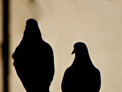 couple (ignat.ignatov) Tags: pigeon animal bird pigeons warm silhouette