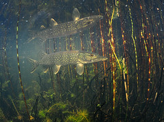 Reflections (Fish as art) Tags: northwestterritories northernfishes northerncanada pike northernpike nature deepnorth canadianfishes canada swamp